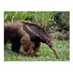 Anteater gigante (tridactyla del Myrmecophaga) Postales