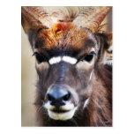 Antelope close up postcard