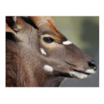 Antelope close up postcards