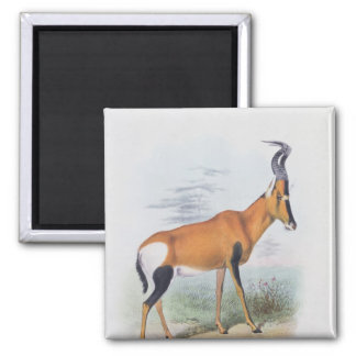 Antelope, from 'The Book of Antelopes', 2 Inch Square Magnet