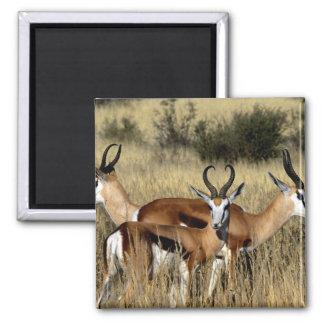 Antelope Trio 2 Inch Square Magnet