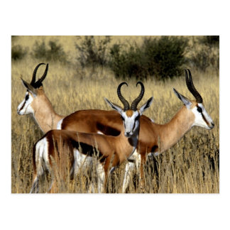 Antelope Trio Postcard