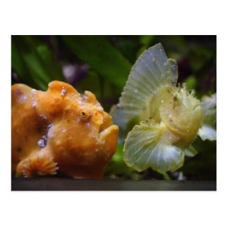 Antennarius commerson & Taenianotus triacanthus Postcard