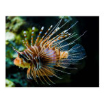 Antennata del Pterois del Lionfish de Antennata Postal