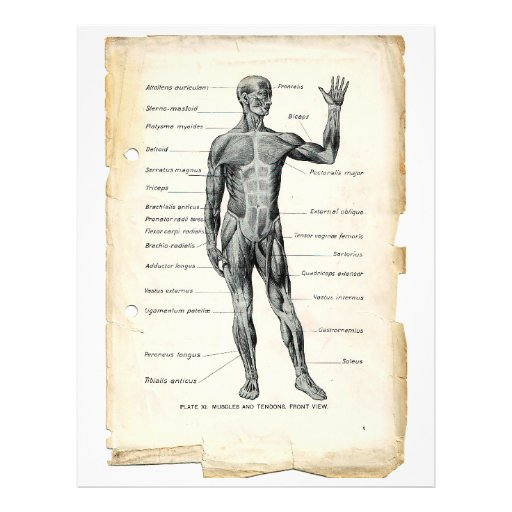 Anterior Muscles Flyer