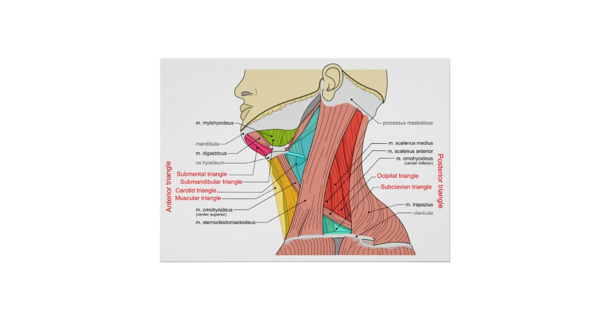 Anterior Posterior Triangles Of The Neck Muscles Poster Zazzle