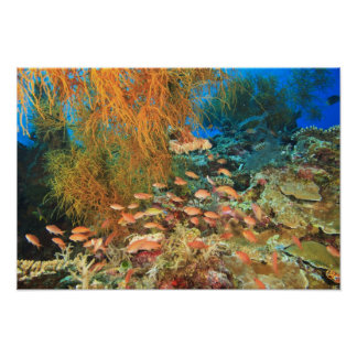 Anthias fish and black coral, Wetar Island, Poster