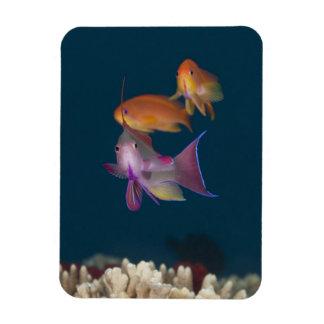 Anthias tropical colorido, vida subacuática imán