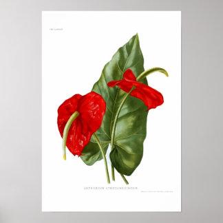 Anthurium atrosanguineum poster