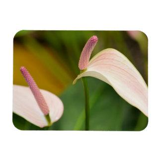 Anthurium flowers magnet