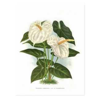 Anthurium Postcards