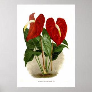 Anthurium x desmetianum poster