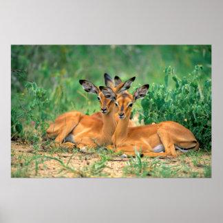 antílope de talón de negro, impala impresiones