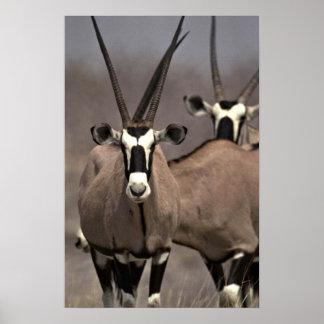 Antílope del Oryx Posters