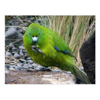 Antipodes Island Parakeet Postcard