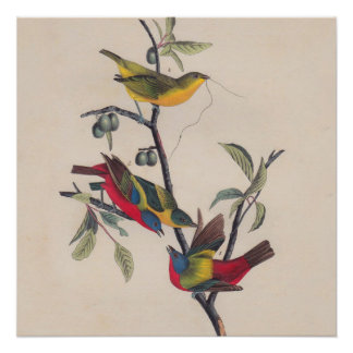 Antique Audubon Painted Bunting Bird Poster