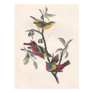 Antique Audubon Painted Bunting Postcard