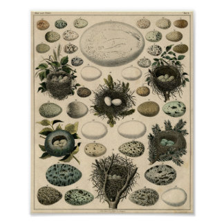 Antique Birds and Nest Poster