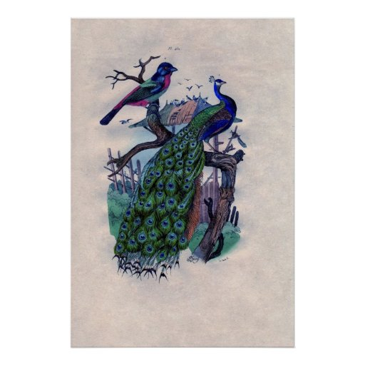 Antique Blue Peacock French Poster Print