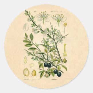 Antique Botanical Print - Blackthorn Classic Round Sticker