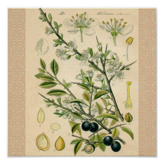 Antique Botanical Print Blackthorn Floral Drawing
