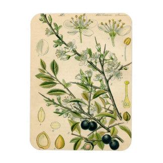 Antique Botanical Print Blackthorn Floral Drawing Rectangular Photo Magnet