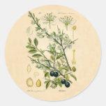 Antique Botanical Print - Blackthorn Sticker