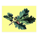 Antique Botanical Print Oak Leaves & Acorns Postcards