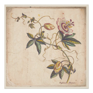 Antique Botanical Print Poster Passion Fower