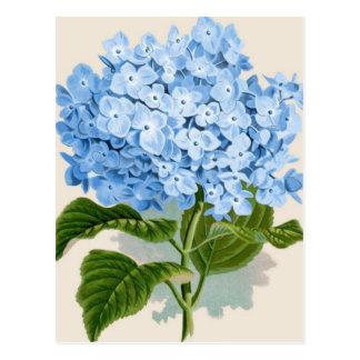 Antique Botanical Romantic Blue Hydrangea Postcard