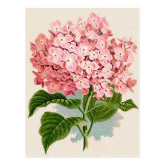 Antique Botanical Romantic Pink Hydrangea Postcard