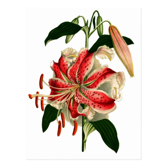 Antique Botanicals Pink and White Lily Postcard