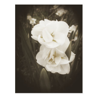 Antique Daffodil Postcard