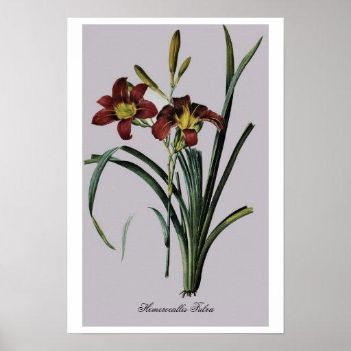 Antique Drawing Hemerocallis Fulva Poster