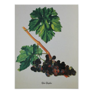 Antique Drawing Vitis Vinifera Poster