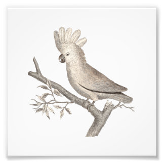 Antique Engraving of a Cockatoo Histoire Naturelle Photo Art