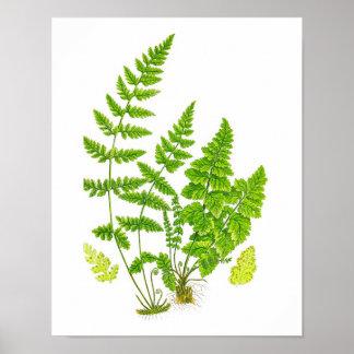 Antique Fern Print #11 Green Nature Botanical Art