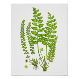 Antique Fern Print #12 Green Nature Botanical Art