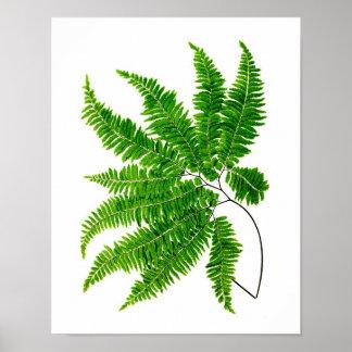 Antique Fern Print No.5 Green Nature Botanical Art
