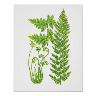 Antique Fern Print No.7 Green Nature Botanical Art