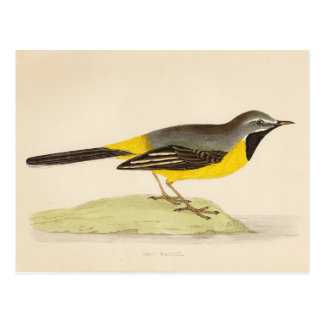 Antique Grey Wagtail Art Postcard