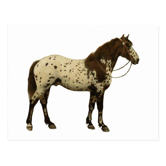 Antique Horses - Appaloosa Postcard