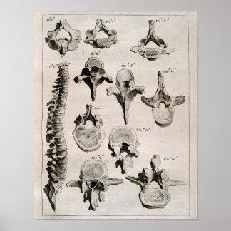 Antique Illustration of Spine, Vertebral Column Poster