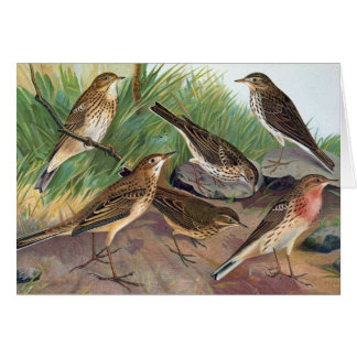 Antique Litho, Anthus genus (pipits), summer Card
