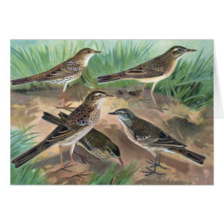 Antique Litho, Anthus genus (pipits), summer, fall Card