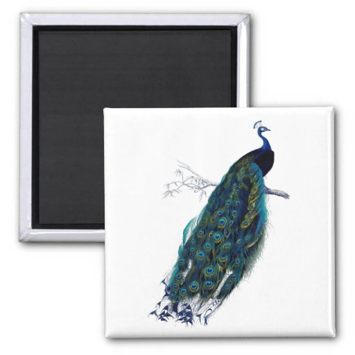 Antique Natural History Print Peacock Magnet