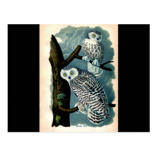 Antique Natural History Snowy Owl  Print Postcard
