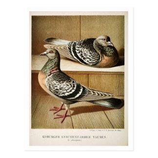 Antique pigeon litho engraving Coburger Postcard