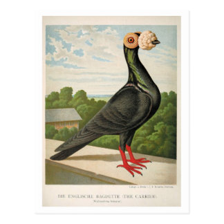 Antique pigeon litho engraving The Carrier Postcard