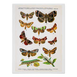 Antique plate, butterflies of Europe: plate 15 Print